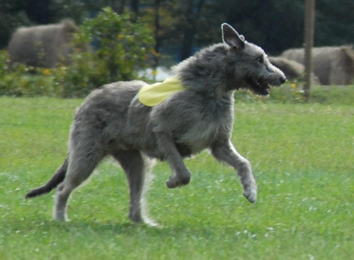 Large Irish Wolfhound dog running in the park, hound dog, hunting dog